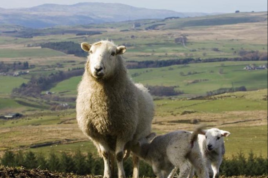 Alarm at deteriorating situation faced by Welsh sheep farmers